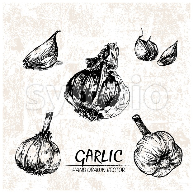 Digital vector detailed garlic hand drawn Stock Vector