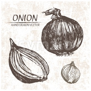 Digital vector detailed onion hand drawn Stock Vector