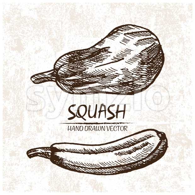Digital vector detailed squash hand drawn Stock Vector