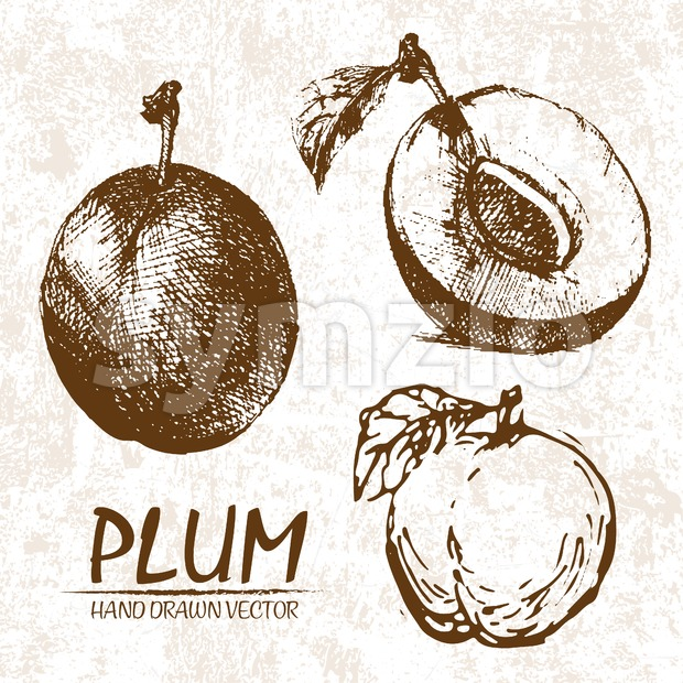 Digital vector detailed plum hand drawn Stock Vector
