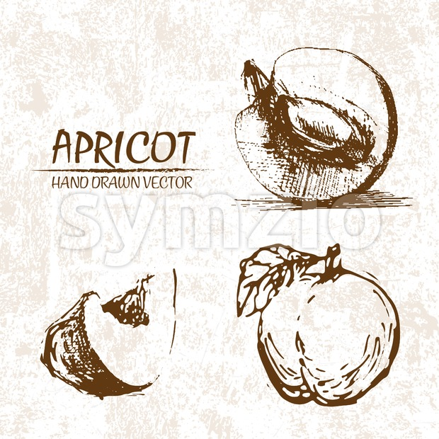 Digital vector detailed apricot hand drawn Stock Vector