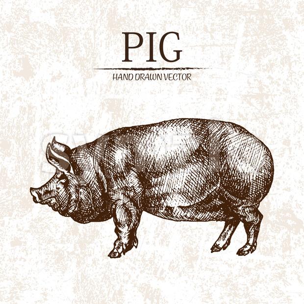 Digital vector detailed pig hand drawn Stock Vector
