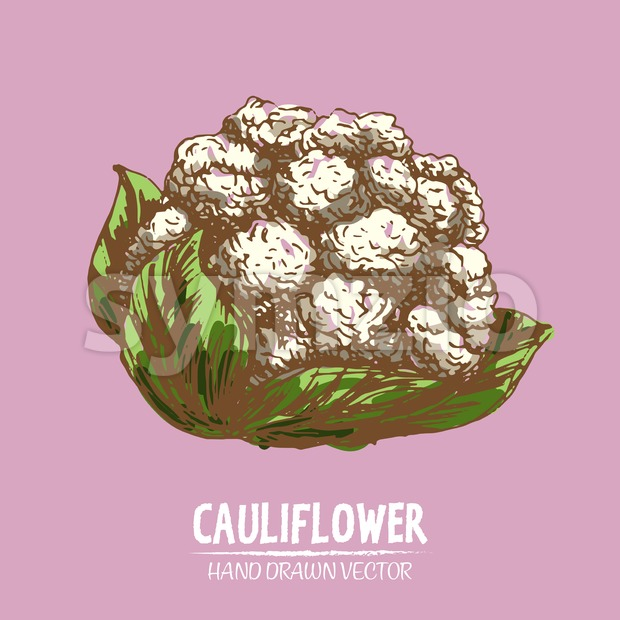 Digital vector detailed color cauliflower hand Stock Vector