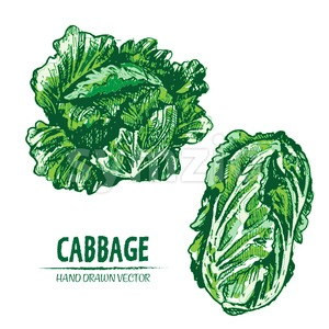 Digital vector detailed color cabbage hand drawn Stock Vector