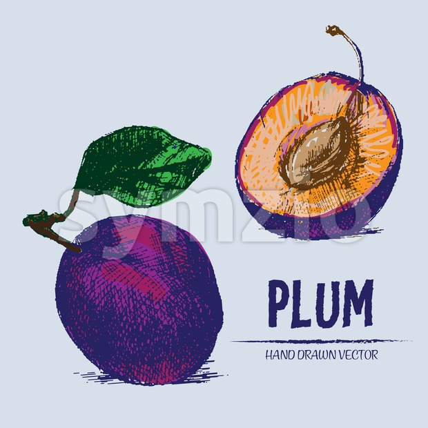 Digital vector detailed color plum hand drawn Stock Vector