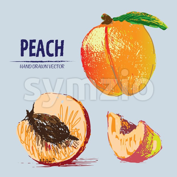 Digital vector detailed color peach hand drawn Stock Vector