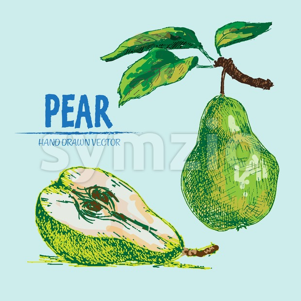 Digital vector detailed color pear hand drawn Stock Vector