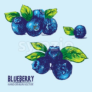 Digital vector detailed color blueberry hand drawn Stock Vector