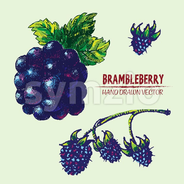 Digital vector detailed color brambleberry Stock Vector