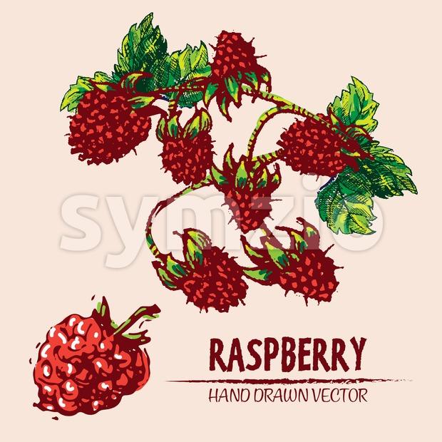 Digital vector detailed color raspberry hand drawn Stock Vector